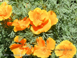 <h5>Californian Poppies </h5>