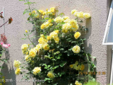 <h5>Roses</h5>