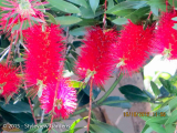 <h5>Bottle Brush </h5>