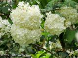 <h5>Snowball bush</h5>