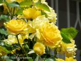 <h5>Rose</h5>