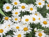 <h5>Shasta daisy</h5>
