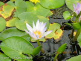 <h5>Water lily</h5>