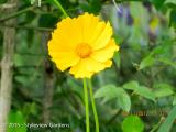 <h5>Coreopsis</h5>