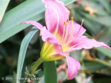 <h5>Day lily </h5>