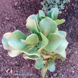 <h5>Succulent</h5>