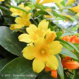 <h5>Yellow Jasmine</h5>