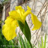 <h5>Iris</h5>