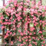 <h5>Rose </h5>