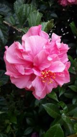 <h5>Hibiscus</h5>