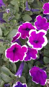 <h5>Petunia</h5>