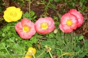 <h5>Poppies</h5>