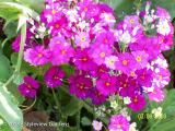 <h5>Primula</h5>