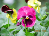 <h5>Pansy</h5>