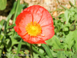<h5>Poppies</h5>