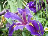<h5>Iris </h5>