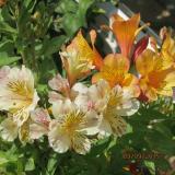 <h5>Inca Lily</h5>