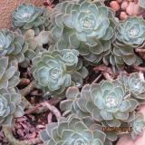 <h5>Rose Cactus</h5>