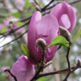 <h5>Magnolia</h5>