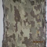 <h5>Leopard Tree</h5>