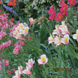 <h5>Inca Lillies</h5>