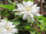 <h5>Clematis</h5>