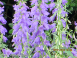 <h5>Canterbury bells </h5>