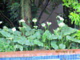 <h5>Arum lily </h5>