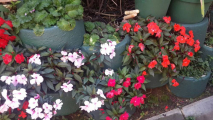 <h5>New guinea impatiens</h5>