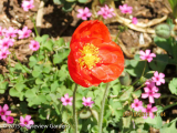 <h5>Poppies </h5>