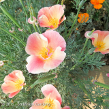 <h5>Californian Poppies</h5>